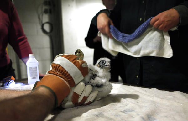 A registrar for animal collections at the Shedd Aquarium holds a baby peregrine falcon to be banded (tagged with an identification band) on May 31.