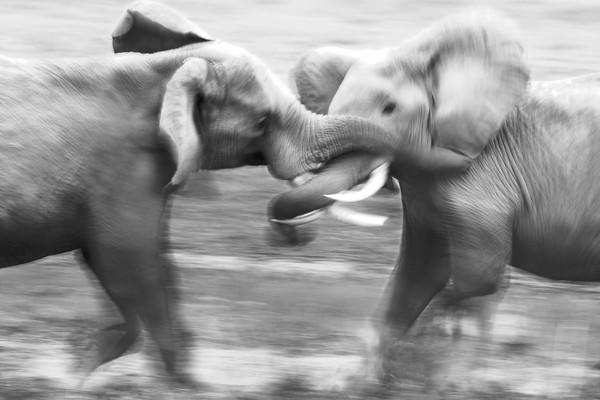 """""""Elefight,"""" a photo from the book """"The Centre Cannot Hold"""" by David Gulden."""