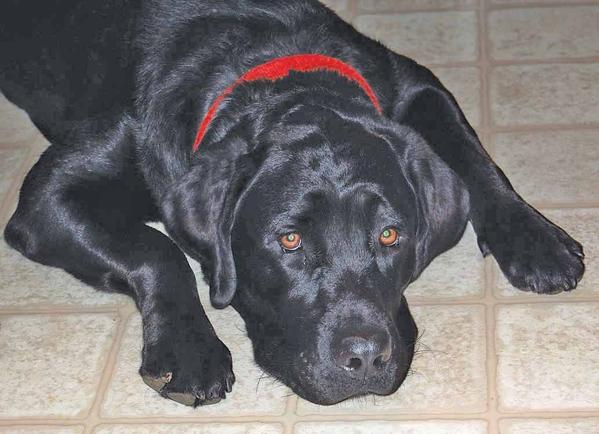 Gibson, a black lab, is being raised by the McCauley family of Emmitsburg, Md. He is the family's third dog through Guiding Eyes for the Blind.