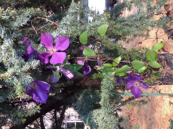 Bill Kidd's clematis blooms as seen on Dec. 1, 2012.