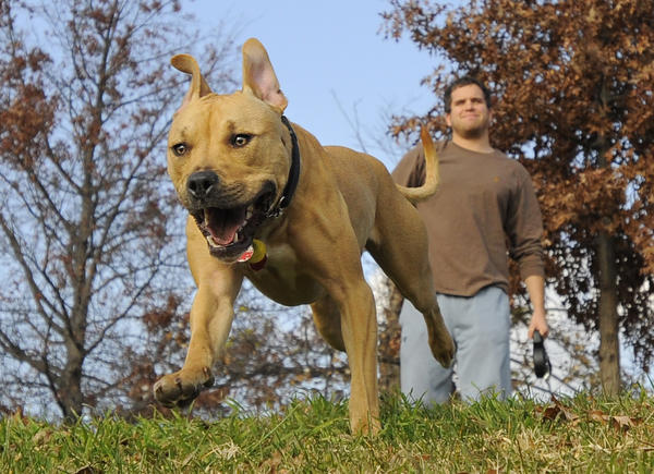 """Brizzy"" a Pit-Terrier mix, chases after a ball at Riverside Park while playing with her owner, Miles Vonderheid as they enjoyed the warm weather today. Weather pictures in Baltimore with the temps getting near 70."