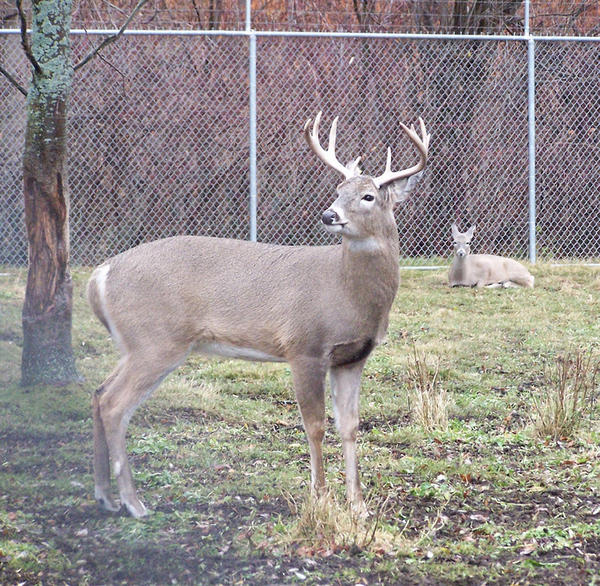 Harbor Springs officials are looking at contraceptive darts to help control the population at the city's deer park.