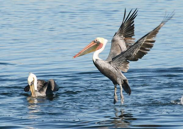 "Brown pelicans come in for a landing at the Bolsa Chica wetlands. The Bolsa Chica Conservancy named the Orange County Water District as ""Conservator of the Year."""