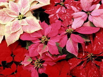 Poinsettias, which come in many color variations, make nice gifts as well as creating instant holiday decor in your own home.