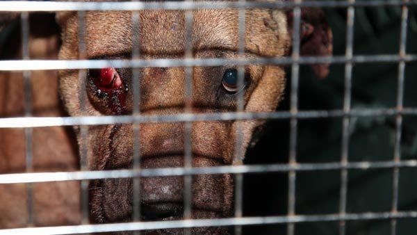 Police have broken up a dog-fighting ring in Dolton and rescued nearly 10 dogs and arrested 8 people.