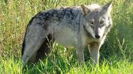Federal grants for non-lethal wolf controls have expired