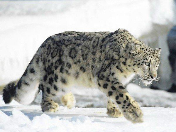 Snow leopards are found in the moutains of central Asia.