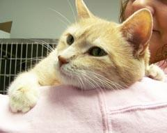Sage is a 4-year-old spayed orange domestic shorthaired cat. Sage is a front declawed snuggle monster who is looking for a new home. If you would like to visit with Sage or any of the animals at the Aberdeen Area Humane Society, come out to  2511 S. 385th Ave. or go online to anewleashonlife