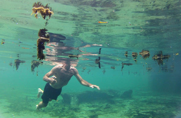 John Serrao of Deland, Fla. navigates around floating algae while swimming in the Wekiva River at Wekiwa Springs State Park.
