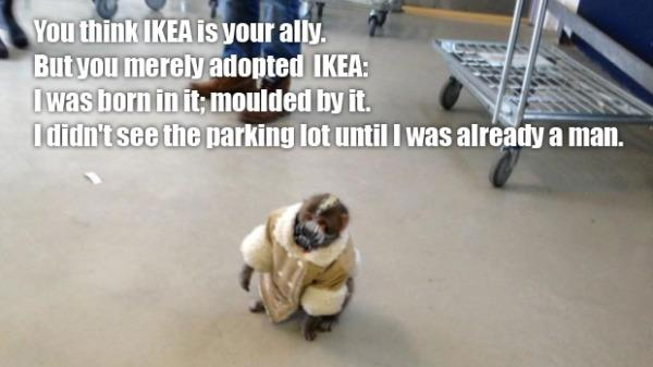 The monkey that surprised shoppers in an IKEA parking lot in Toronto has become an Internet sensation. Photos of the simian have gone viral, he's become a meme, and Twitter fans are having a ball.
