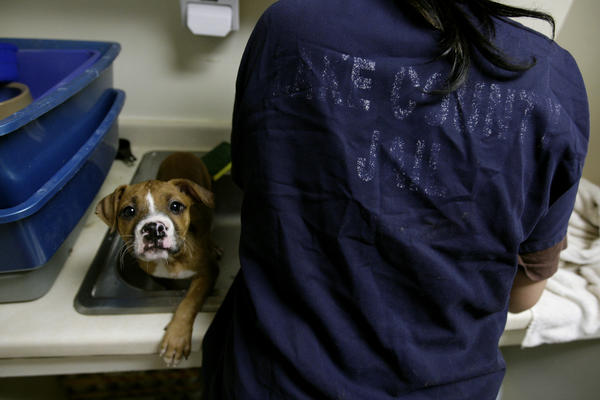 A Lake County jail inmate gives a baby pit bull a bath during her volunteer time at the Lake County Animal Care and Control in 2009. Chicago has an agreement with the Cook County Sheriff's Office for a similar program.