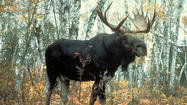 Minnesota takes first step to adding moose to endangered list