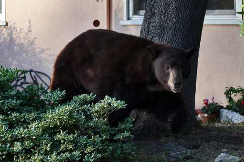 "A 400-pound black bear known as Glen Bearian, or Meatball, visited the Glendale area three times in 2012 to plunder trash cans and play cat-and-mouse with the authorities, who twice returned him to his home in the Angeles National Forest. The next stop? It was to be a wildlife sanctuary in Colorado, but now  his current caretakers at a San Diego County sanctuary are making plans to build him a permanent home.  <br /><br /><b> More:</b> <a href=""http://www.latimes.com/news/local/la-me-glendale-bear-20120830,0,2106304.story"" target=""_blank"">""I looked out the window, and he was standing there, 5 feet away""</a>"