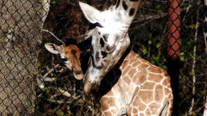 Baby giraffe has health problems; warthog dies at Dickerson Park Zoo