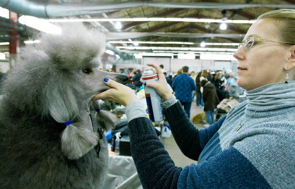 Chrome, a standard poodle, owned by Stacy Miller of Williamsport, gets her updo hairsprayed before judging, during a Lehigh Valley Kennel Clubs show.