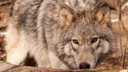 Wolf hunt in Michigan approved by House
