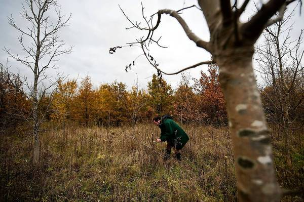 A Woodland Trust worker inspects ash trees for signs of dieback disease near Ipswich, eastern England.