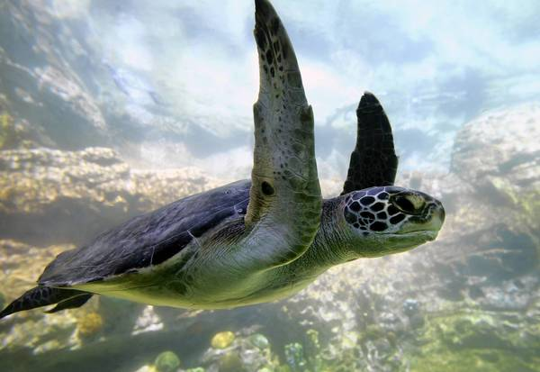 A sea turtle swims in the new Turtle Trek habitat, Monday, April 24, 2012, which opens to guests at SeaWorld Orlando, Friday. Guests will view the sea turtles, along with manatees, in two massive saltwater and freshwater habitats, before watching a first-of-its-kind, 34-projector movie in 3-D, in a domed theater. Turtle Trek's animated film documents the challenging journey of the sea turtle, in a 360-degree, super high-definition virtual environment. (Joe Burbank/Orlando Sentinel) newsgate ID# B582033197Z.1