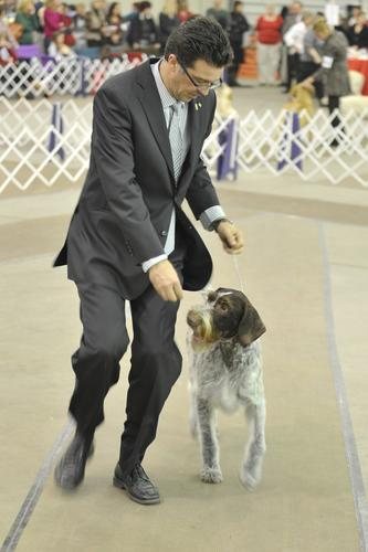 Handler Phil Booth of Michigan shows Oakley, a 6-year-old German Wire Haired Pointer. Dog lovers and their canine companions gather Sunday, December 16th, 2012 at the Agri-Plex in the Allentown Fair Grounds for the Star of Bethlehem Dog Show sponsored by the Delaware and Lehigh Valley kennel clubs.