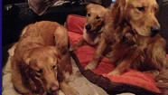 K-9 comfort dogs Chewie (left), Ruthie and Luther, as volunteers from Lutheran Church Charities set out for Connecticut on Saturday. Lutheran Church Charities photo