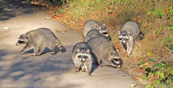 A group of raccoons forage in a municipal park.