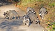 An eerie new disease is cropping up among raccoons in Northern California and Oregon: brain tumors that may be linked to a previously unidentified virus discovered by a team led by UC Davis veterinarians and researchers.