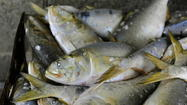With catch limits on Atlantic menhaden being tightened to end overfishing, a new study is getting under way to look at just how many of the little oily fish need to be left in the water to maintain the health of other fish in the Chesapeake Bay and along the East Coast.