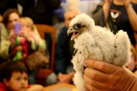 Gribley, one of two baby peregrine falcons nesting outside Evanston Public Library, is introduced to onlookers Thursday at the library.