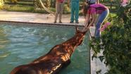 Horse trapped in swimming pool in Palm Beach County