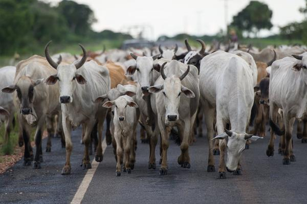 Cattle in western Brazil.