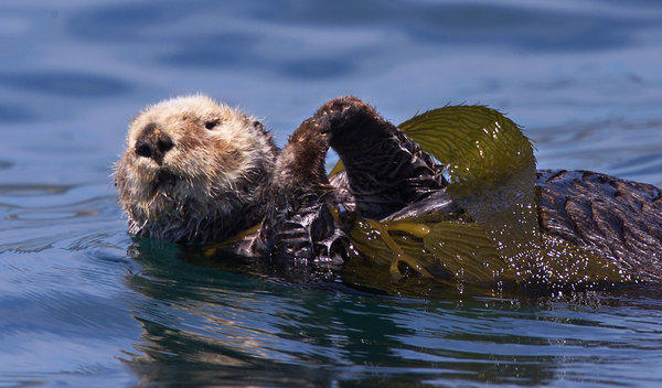A sea otter on a raft of kelp off Santa Barbara County. A 25-year no-otter zone in Southern California waters has been abandoned.
