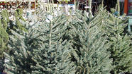 Still haven't selected your tree for the holidays? Prefer to wait and display your tree closer to Christmas? Then you should consider a live Christmas tree, suggests the International Society of Arboriculture in a news release.