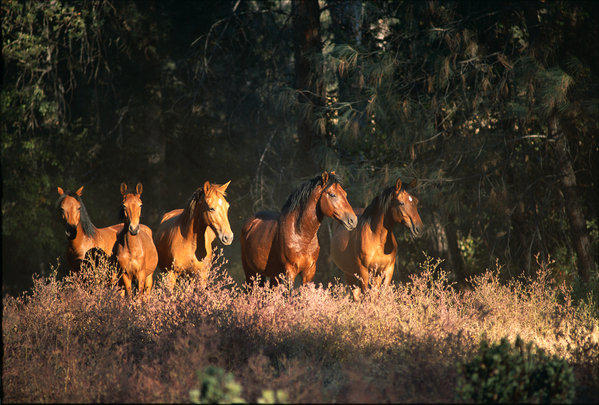 Rescued horses and burros roam across the 5,000 acres of the Wild Horse Sanctuary in Northern California.