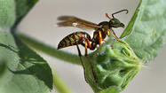 Hard freeze is needed to kill off wasps