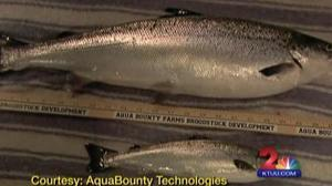 Alaska Delegation Fillets GM Salmon Report