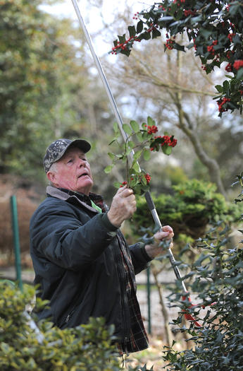 Holly thrives as symbol of season
