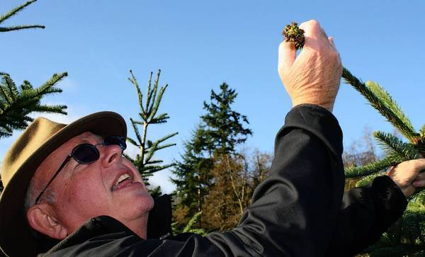 Plant pathologist Gary Chastagner explains the finer points of a noble fir at a research station in Puyallup, Wash. His teams aim to improve Christmas trees so they won't drop so many needles.