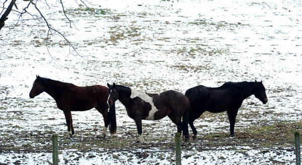 Horses graze along Carpet Road near New Tripoli Tuesday afternoon. Snow that fell on Christmas Eve left the Lehigh Valley area under a white blanket early Christmas Day, 2012.