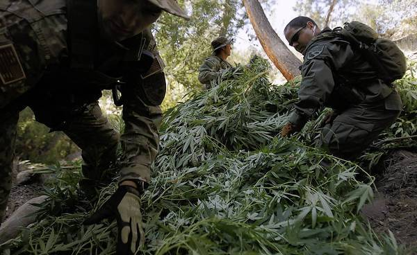 Stacking marijuana plants