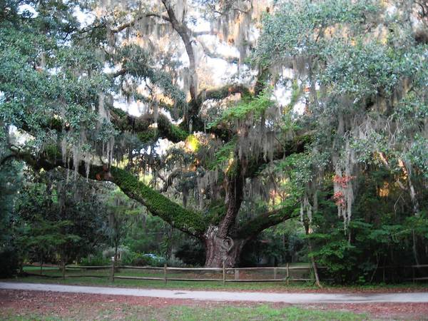 The Secession Tree in Bluffton, S.C.