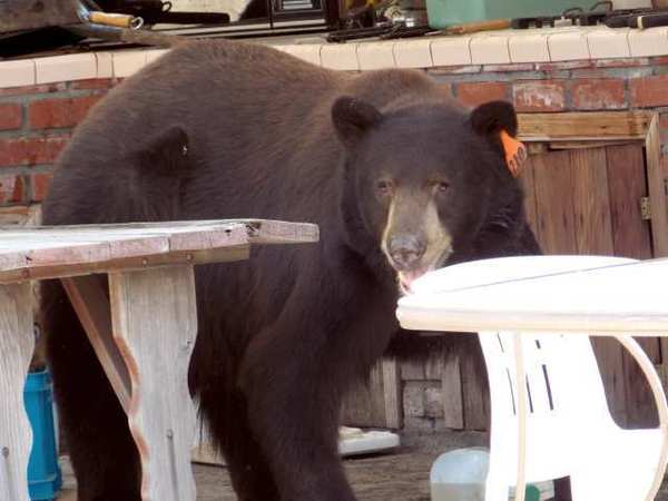 The bear dubbed Meatball takes in his surroundings in a local backyard. He was one bear spotted in the region during the summer of 2012.