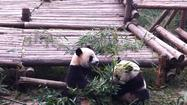 China: Hotel is planting bamboo for new giant panda preserve