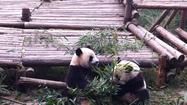"<a href=""http://www.shangri-la.com/"" target=""_blank"">Shangri-La Hotels</a> dig nature, especially pandas. That's one reason the company began planting bamboo trees this month in China's Sichuan province for a new giant panda center that will rescue ill or elderly wild pandas."