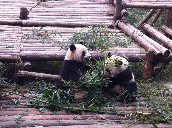 A new panda center in China's Sichuan province will allow guests to get a good look at the endangered animals.
