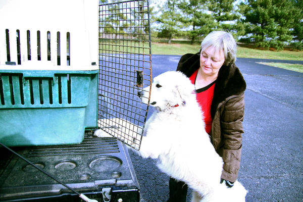 Black Cat Rescue organizer Hillary Culver helps Rosa, a Great Pyrenees dog, get into a crate for a trip to Mount Vernon. Rosa is headed to a Canadian rescue organization based in Ontario.