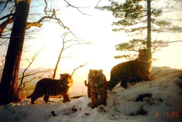 The images of tiger cubs in the Russian Far East are caught  by a motion-activated camera trap.