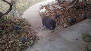Photos: Pig roams Wichita neighborhood