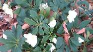 There is no earthly good reason to have a bare yard in the winter, especially if you grow Hellebores, sometimes called Christmas Rose or Lenten Rose, depending on their bloom time.