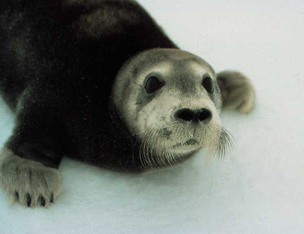 A  bearded seal pup  in the Arctic. Bearded seals and ringed seals are threatened with extinction due to loss of sea ice in a fast-warming Arctic.