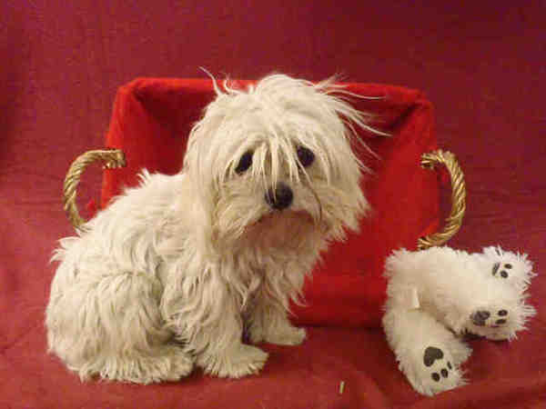 Bo Jangles, a neutered 1-year-old male Maltese mix, will ride in the Rose Parade with several adoptable dogs and be available afterward, around noon or 1 p.m. at Victory Park in Pasadena, at the entrance to the float viewing area.